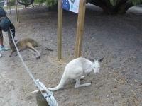 Kangaroo at Discovery Bay