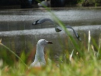 Seagull (Rama Sugiartha)